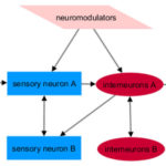 Multimodal sensory processing in Caenorhabditis elegans. AoS