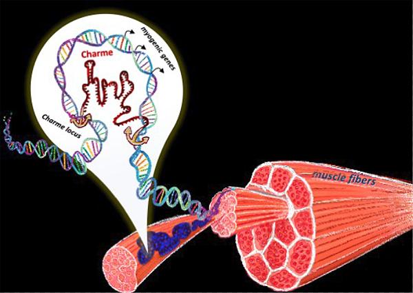 Charme, the missing link in myogenesis. Atlas of Science