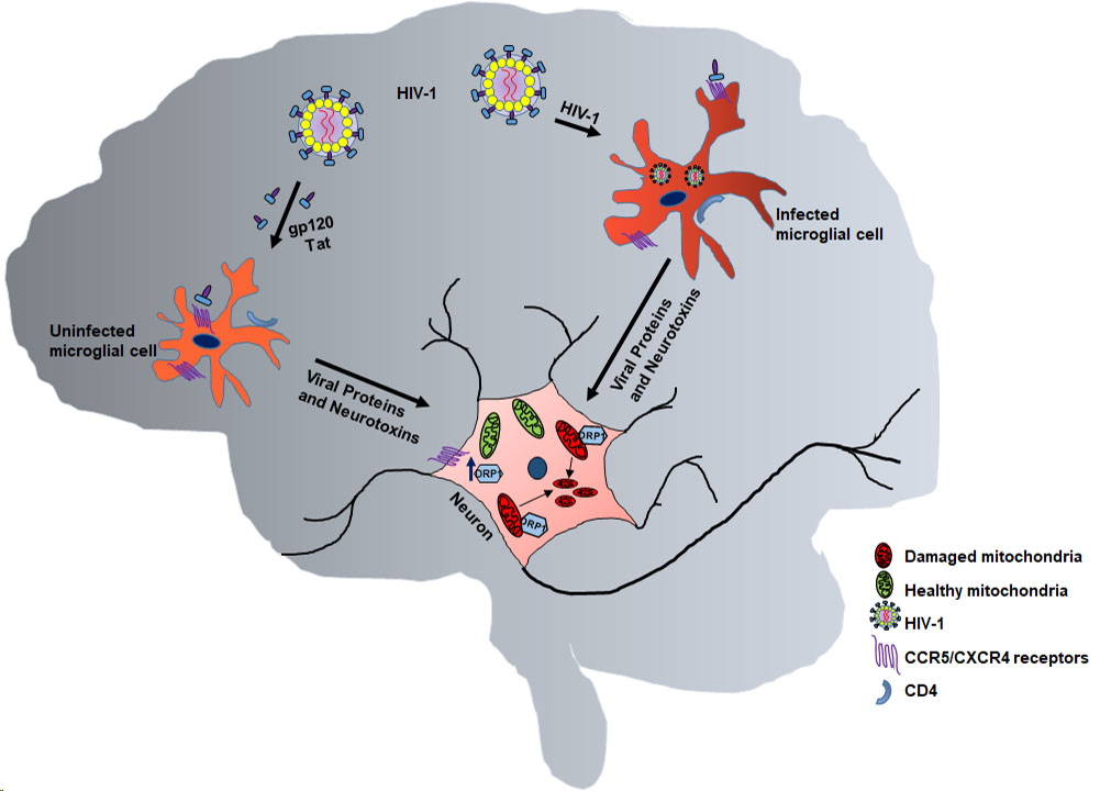 HIV enters the brain infecting macrophages and microglia. Atlas of Science