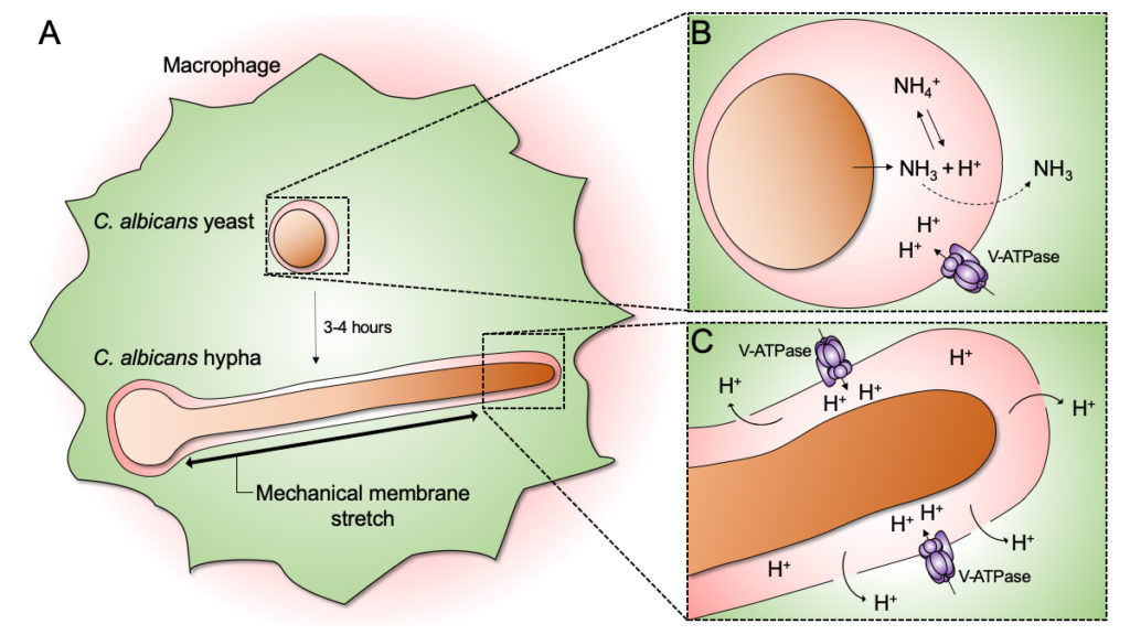 C. albicans undergoes yeast-to-hyphal transition inside the macrophage phagosome. Atlas of Science