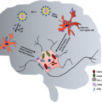 HIV-1 alters mitochondria in neurons and contributes. AoS