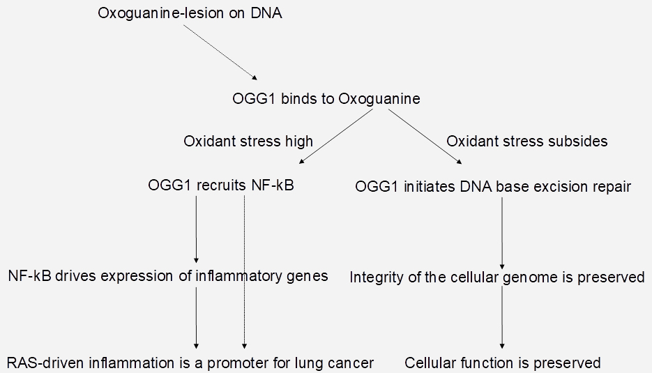 A new link between oxidant stress and lung cancer. Atlas of Science