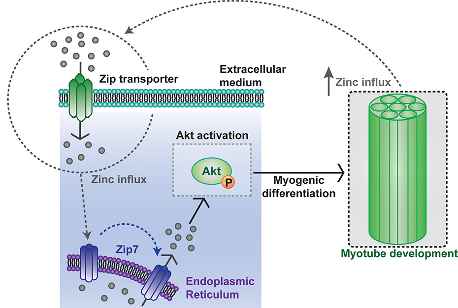Zinc promotes myoblast differentiation activating Zip7. Atlas of Science
