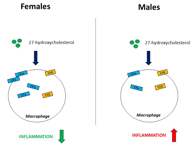 Inflammatory differences between men and women uncovered by 27-hydroxycholesterol. Atlas of Science