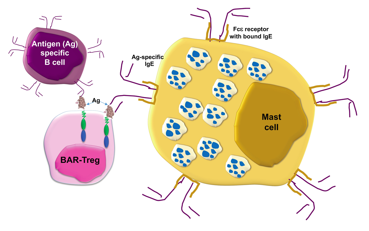Atlas of Science. Antigen-expressing regulatory T cells can protect against allergic reactions