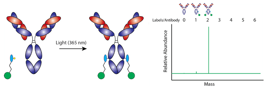 Atlas of Science. Site-specific Antibody labeling with Photo-reactive Antibody Binding Domain Linker