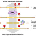 AoS. Nonsense-mediated mRNA decay (NMD)