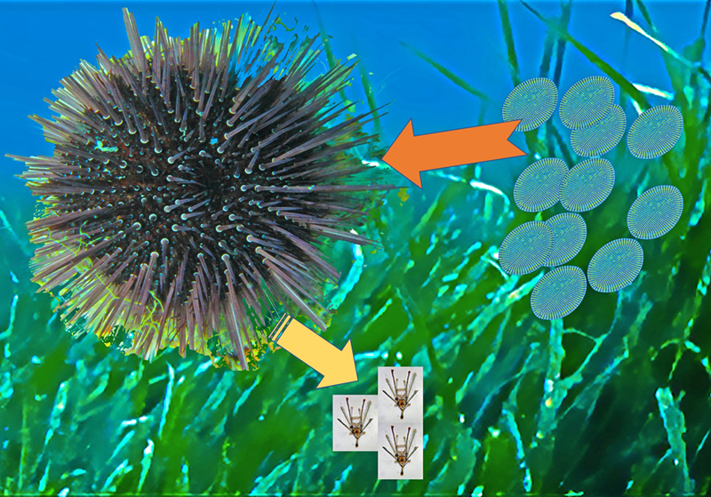 Atlas of Science. The noxious effects of benthic diatoms on marine invertebrates.
