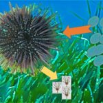 AoS. The noxious effects of benthic diatoms on marine invertebrates.