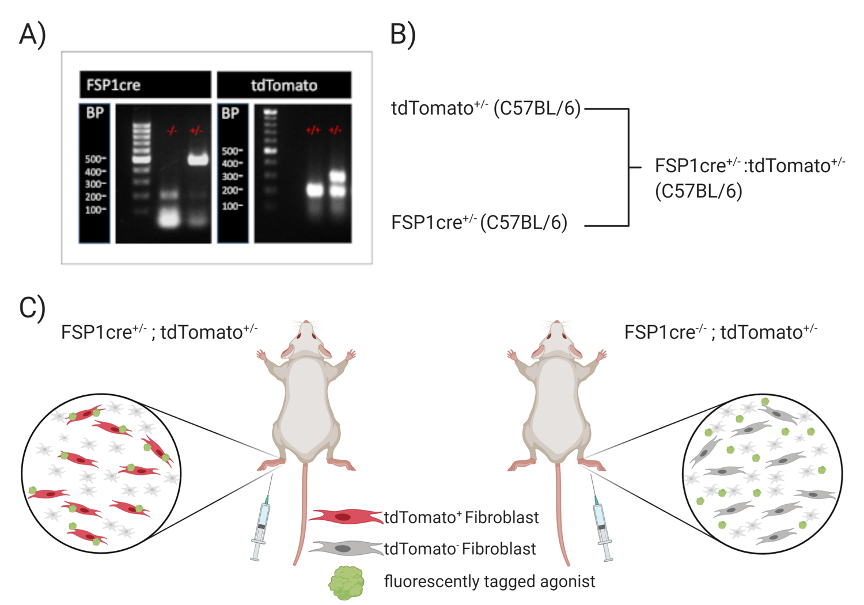 Atlas of Science. In vivo 2-color multiphoton imaging of genetic reporter fibroblasts in the skin.