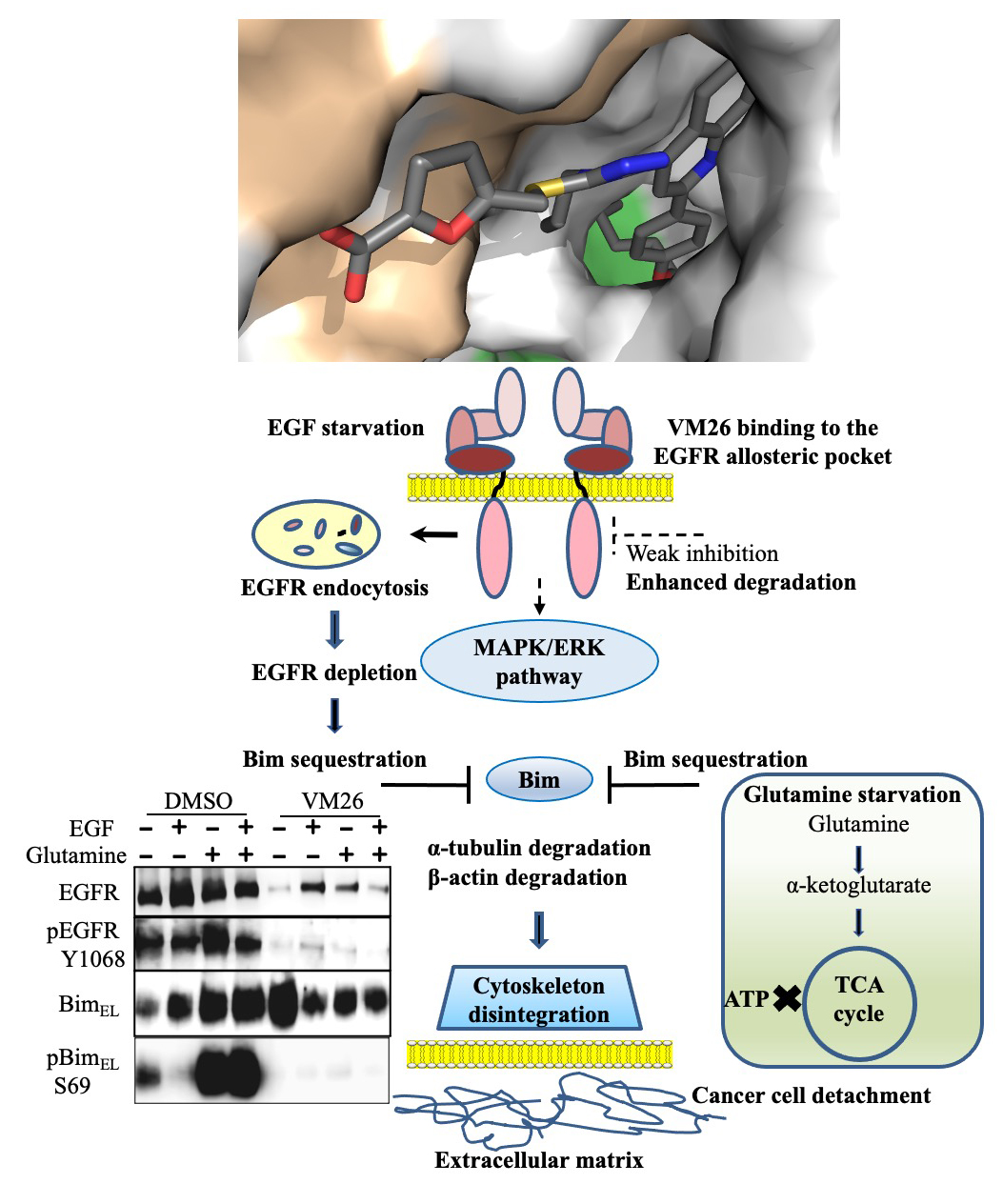 Atlas of Science.Allosteric Degraders of EGFR Leading to Cancer