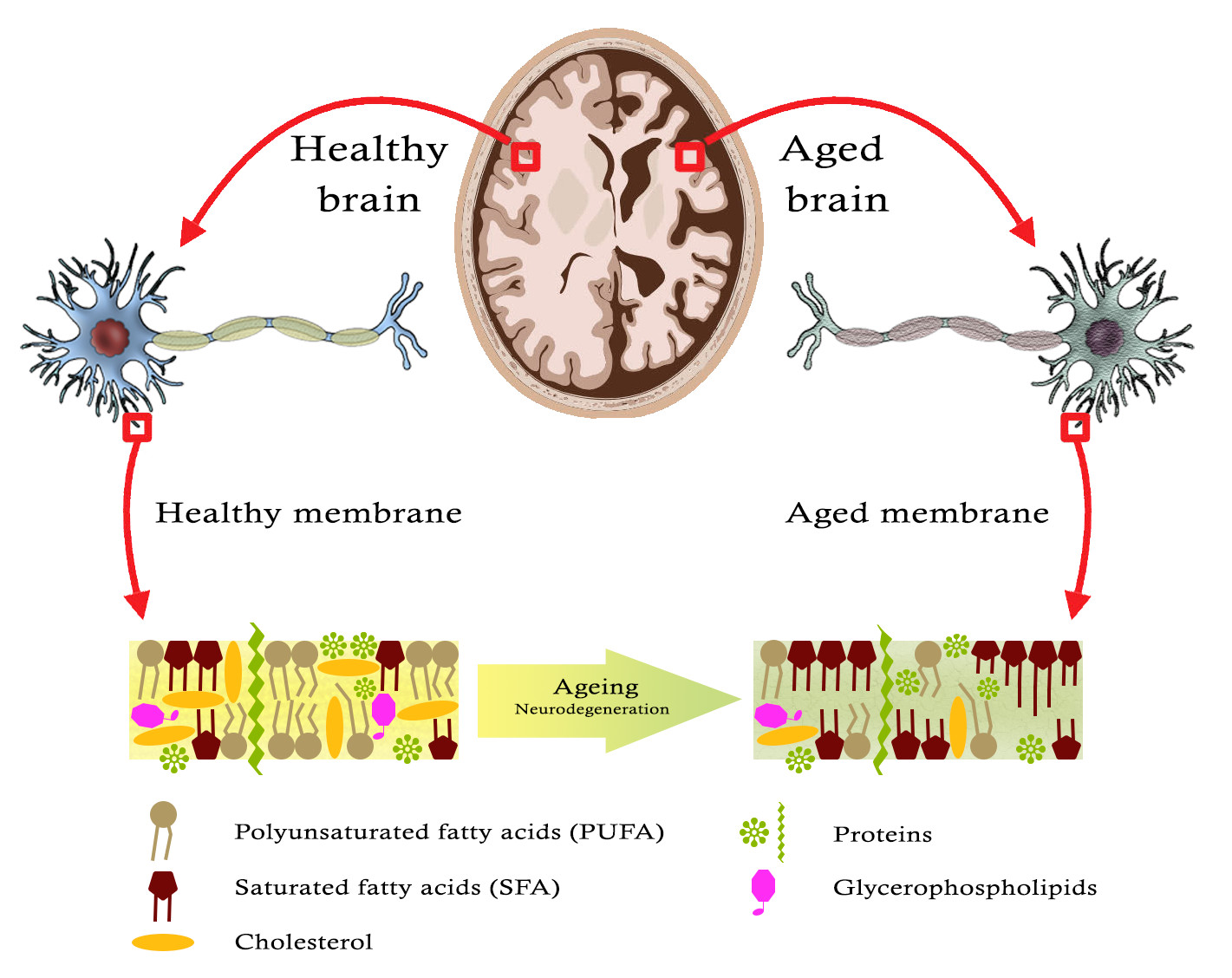 Atlas of Science. Lipids keeps shrinking with aging and neurodegeneration.