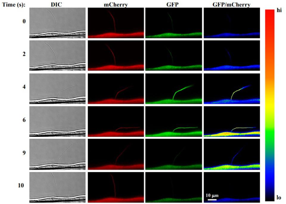 Atlas of Science. Method to measure calcium signaling in nanometer-sized primary cilia