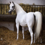 """AoS. Is the ACTN3 gene a real """"speed gene"""" in horses"""