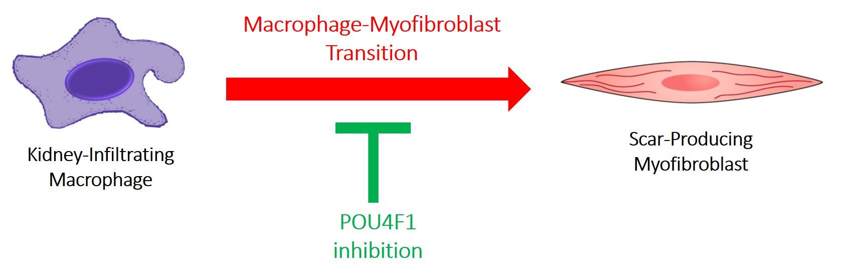 Atlas of Science. Macrophage-Myofibroblast Transition