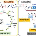 AoS. Protein disorder in algal metabolism