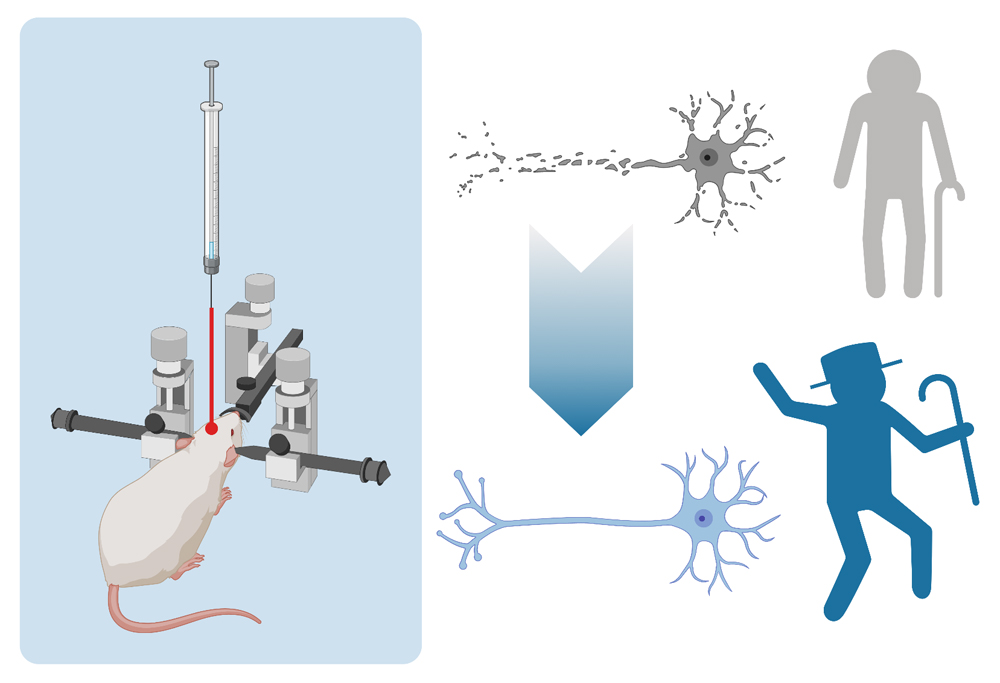 Atlas of Science. Intracranial injections and animal models: towards understanding and treating human disease